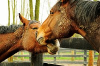 Two horses showing affection