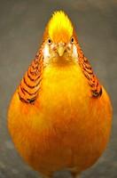 golden or Chinese pheasant Chrysolophus pictus - native habitat mountainous areas of western China - Bloedel Conservatory, Queen Elizabeth Park, Vanco...