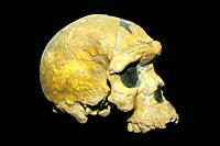 Oldest known skull of an Homo Sapiens Fossil BOU-VP 16/1 Herto cranium, Addis Ababa National Museum, Ethiopia