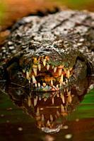 Crocodile Kenya Africa.