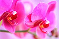 Bold Pink Moth Orchid Stem