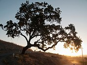 Oak tree at sunrise near Paso Robles, California, USA