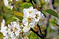 Wild white cherry blossoms on a twig  Close-up  Open  Blossom with detailed stamens  White  Fills frame  From side angle