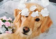 Golden Retriever: breed of dog
