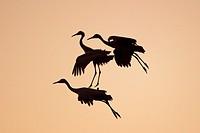 Three Sandhill Cranes Landing at Sunset Rocky Mountains USA.