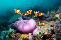 False clown anemonefish Amphiprion ocellaris with anemone  Indonesia