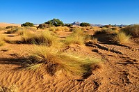 vegetation on sanddunes at Erg Admer, Wilaya Illizi, Algeria, Sahara, North Africa