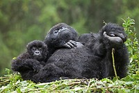Mountain Gorillas, Gorilla beringei beringei, female with young on nest, Volcanoes National Park, Rwanda