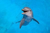 Photograph of a smiling dolphin in the water, ACUARIO NACIONAL, AV 3 AND CALLE 62, OUTER HAVANA, HAVANA, CUBA