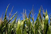 Maize field  LLeida  Spain