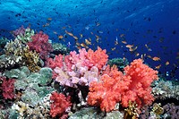 Scalefin anthias Pseudanthias squamipinnis and soft corals on top of a reef in Beqa Lagoon, Fiji Islands  South Pacific Ocean