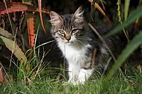 Cat / Sao Miguel Island / Azores / Portugal