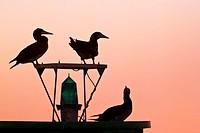 silhouette of brown boobies, Sula leucogaster, resting on navigational buoy aka green can at sunset, Kona Coast, Big Island, Hawaii, USA, Pacific Ocea...