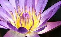 Close to the blue water lily flower