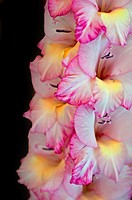 This vertical stock image is a Gladiolus flower, macro closeup  The soft petals are white with pink edges and yellow towards the center of the blooms
