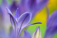 Studio still life floral / Triteleia laxa or Brodiaea laxa upright pale purple-blue flowers in close-up softly diffused  Summer flowering corm
