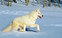 Arctic Wolf, canis lupus tundrarum, Adulte running on Snow, Canada