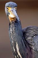 Tricolored Heron - Green Cay Wetlands, Delray Beach, Florida USA