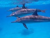 Egypt, Marsa Alam region, Red sea, Spinner dolphins