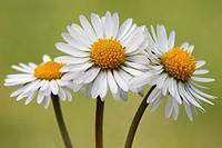 Daisy, Bellis perennis, Schleswig-Holstein, Germany