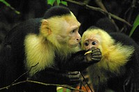 Two white faced capuchin monkeys in the Manuel Antonio National Park Costa Rica