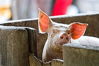 Pig farm. It is comon to see families living, and children playing on dangerously unsanitary illegal trash dumps on the resort island of Bali, Indones...