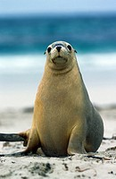 Australian Sea Lion, neophoca cinerea, Adult standing on Beach, Australia