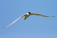 Gull-billed Tern, Gelochelidon nilotica, in flight, La Albufera natural park, Valencia, Spain