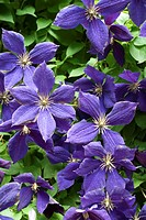 The Clematis Jackmanii in full bloom