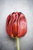 Red tulip flower on a grey background