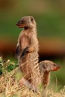 Banded mongoose, Masai Mara National Reserve, Kenya.