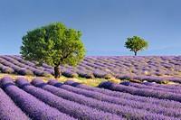 Lavender (Lavandula angustifolia) field with trees  Valensole, Plateau de Valensole, Alpes-de-Haute-Provence, Provence-Alpes-Cote d´Azur, Provence, Pr...