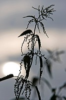 Stinging nettle, Urtica dioica, in sunset, Schleswig-Holstein, Germany