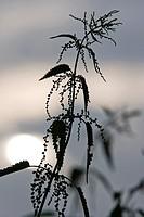 Stinging nettle, Urtica dioica, in sunset, Schleswig-Holstein, Germany