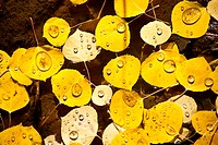 Tiny droplets of water on aspen leaves in autumn