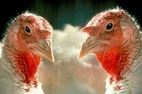 Two Nicholas domestic turkeys side by side in Vermont farm, USA