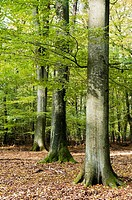 Beech trees, Fagus sylvatica, in a forest, Schleswig-Holstein, Germany