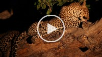 African Leopard Panthera Pardus Parudus grooming. Mashatu, Botswana.