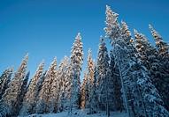 Spruce  picea abies  forest at Winter, LocationSuonenjoki,Finland,Scandinavia,Europe