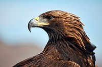 A Kazakh eagle hunter´s golden eagle in the Altai Region of Bayan-Ölgii in Western Mongolia