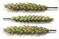 Wheat ear, still life