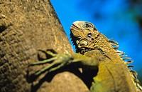 male iguana Iguana iguana Chagres National Park Panama