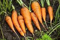 Organically grown carrots  Scientific name: Daucus sativus