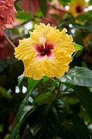 Hibiscus, Moorea, French Polynesia