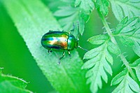 Chrysolina fastuosa, a tiny rainbow-colored leaf beetle  A pin-head sized beetle searches for dinner on a leaf  Very colorful metallic beetle with blu...