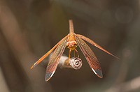 Dragonfly Fulvous Forest Skimmer, Neurothemis fulvia, female, Siem Reap, Cambodia