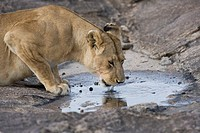Young male Lion drinking in the Masai Mara