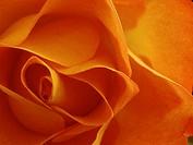 Orange rose flower closeup