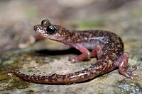 Cave salamander of the Gennargentu Speleomantes imperialis in Is Alinos stream near Aritzo, Sardinia, Italy