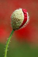 Red Poppy, Papaver rhoeas